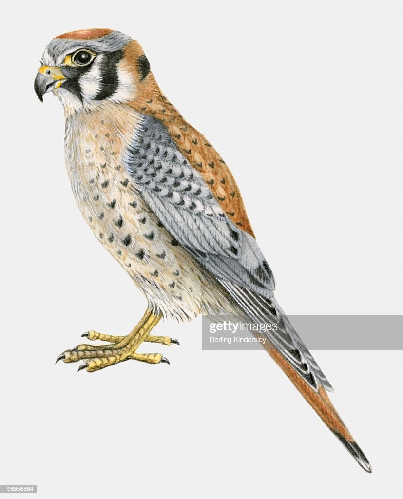 Illustration of an American kestrel (Falco sparverius), side view : stock illustration