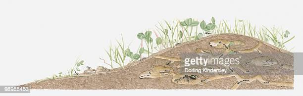 ilustraciones, imágenes clip art, dibujos animados e iconos de stock de illustration of an ants nest - hormiga