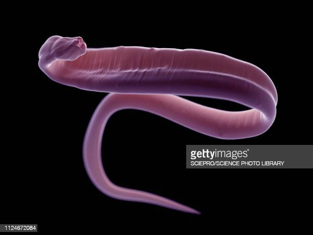 illustration of an ascariasis worm - roundworm stock illustrations
