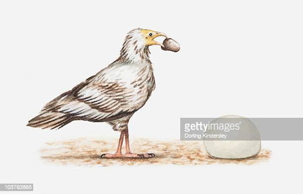 Illustration of an Egyptian vulture (Neophron percnopterus) about to crack open an ostrich egg with a stone, side view