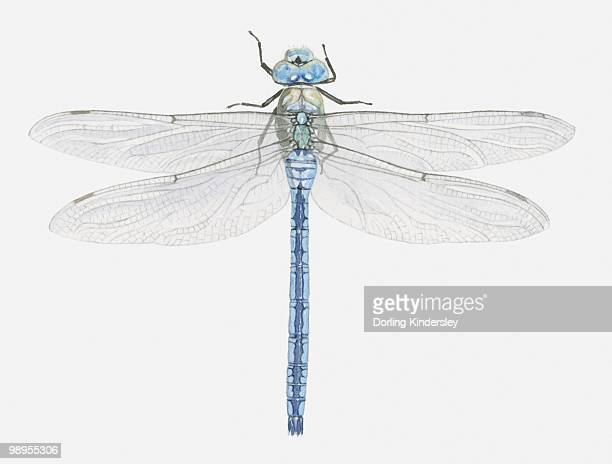 Illustration of an Emperor dragonfly (Anax imperator)