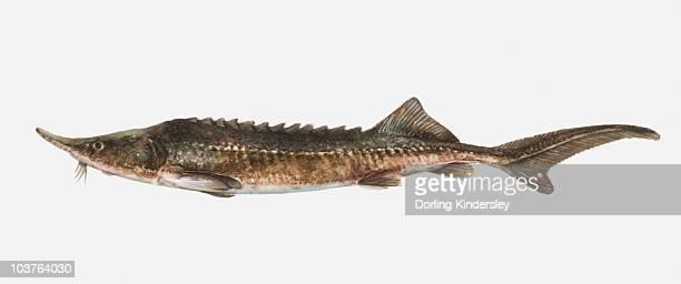 illustration of an european sturgeon (acipenser sturio), side view - sturgeon fish stock illustrations