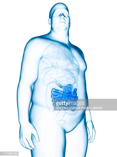 illustration of an obese man's small intestines - human small intestine stock illustrations