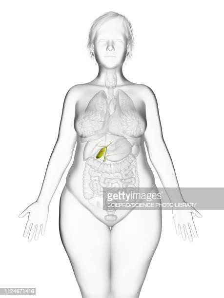 illustration of an obese woman's gallbladder - the human body点のイラスト素材/クリップアート素材/マンガ素材/アイコン素材