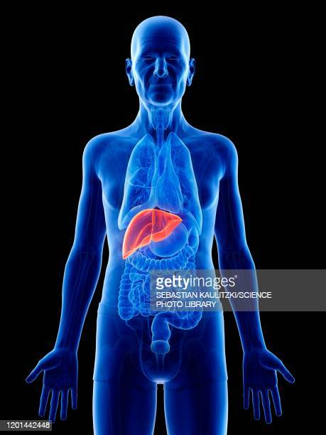 illustration of an old man's liver - anatomy stock illustrations