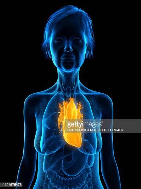 illustration of an old woman's heart - myocardium stock illustrations, clip art, cartoons, & icons