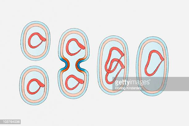 illustration of bacterium cell reproducing - micro organism stock illustrations, clip art, cartoons, & icons