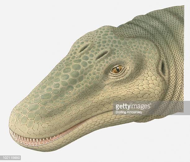 Illustration of Barosaurus head