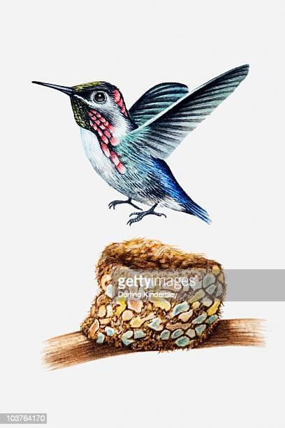 Illustration of Bee hummingbird (Mellisuga helenae) above nest