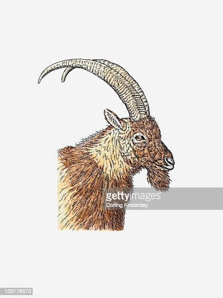 Illustration Of Bezoar Ibex Capra Aegagrus Head Wild Goat In Profile Showing