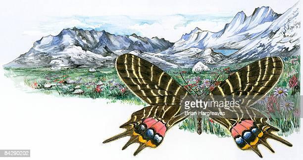 Illustration of Bhutan Glory (Bhutanitis lidderdalii), swallowtail butterfly and mountain meadow
