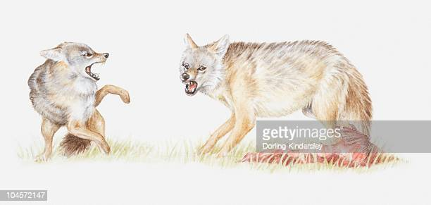 Illustration of Black-backed jackal (Canis mesomelas) with its kill, growling at another jackal