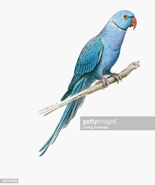 illustration of blue indian ring-necked parakeet (psittacula krameri manillensis), perching on branch - パラキート点のイラスト素材/クリップアート素材/マンガ素材/アイコン素材