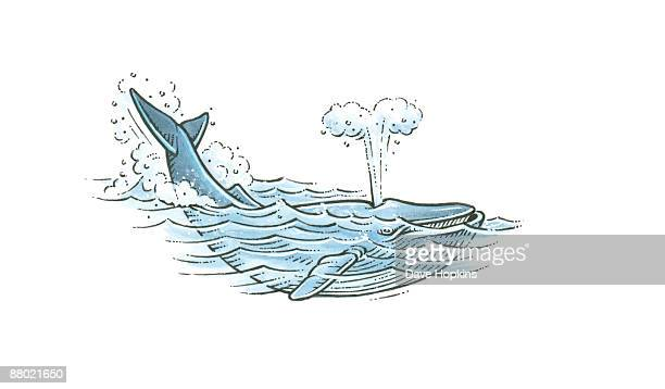 Illustration of Blue Whale (Balaenoptera musculus) forcefully exhaling air through blowhole