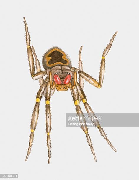 stockillustraties, clipart, cartoons en iconen met illustration of brazilian wandering spider (phoneutria spp.) - braziliaanse zwerfspin