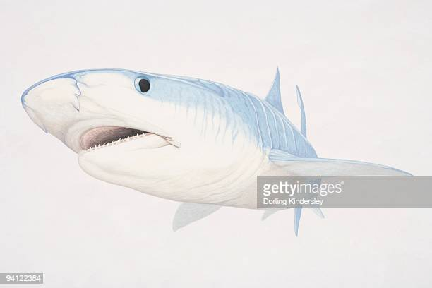 illustration of bull shark (carcharhinus leucas) underwater - bull shark stock illustrations