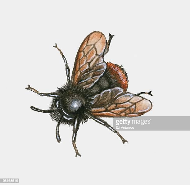 bildbanksillustrationer, clip art samt tecknat material och ikoner med illustration of bumblebee (bombus) - bumblebee