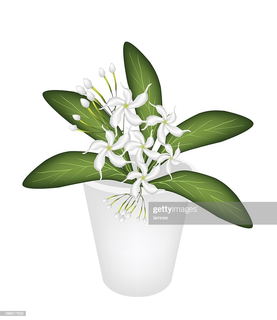 Illustration of cape jasmine in a flower pot stock illustration illustration of cape jasmine in a flower pot stock illustration izmirmasajfo