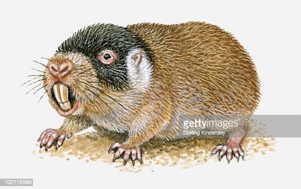 Illustration of Cape Mole Rat (Georychus capensis) showing long teeth