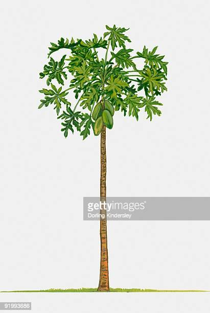 Illustration of Carica papaya (Papaya), a large tree-like tropical plant showing green leaves and un