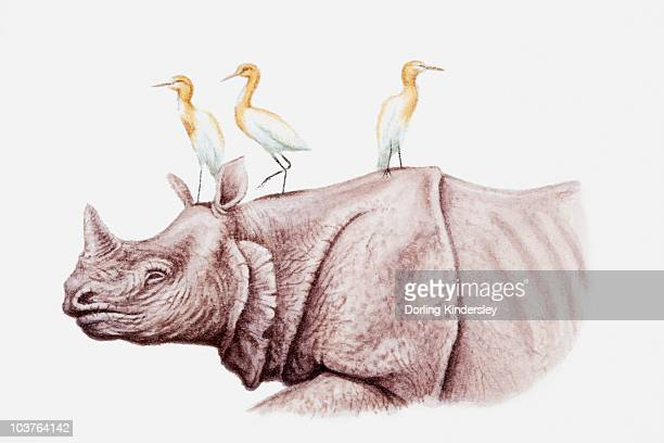 Illustration of Cattle egrets (Bubulcus ibis) perching on top of a rhinoceros