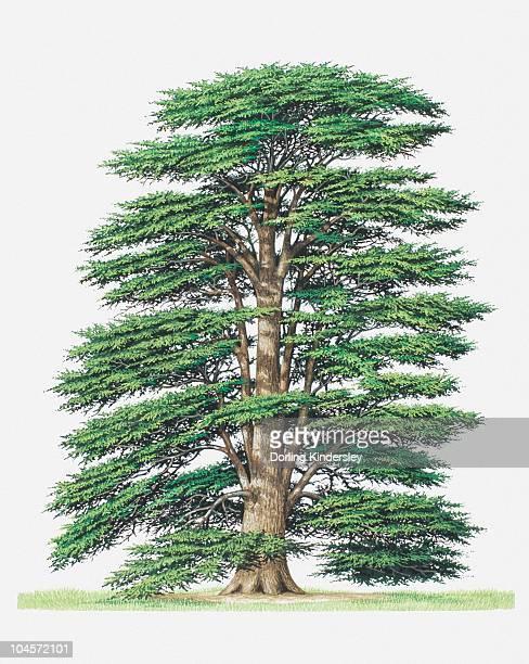 illustration of cedrus libani (cedar of lebanon) tree - cedar tree stock illustrations, clip art, cartoons, & icons