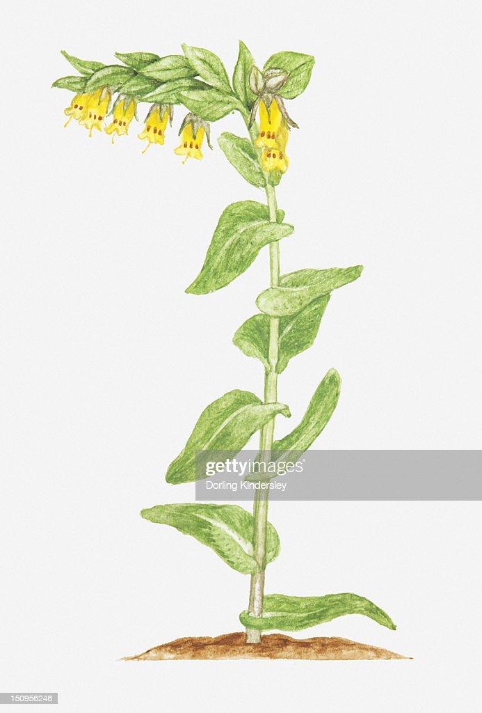 Illustration of cerinthe glabra tubular yellow flowers on single illustration of cerinthe glabra smooth honeywort tubular yellow flowers on single stem mightylinksfo