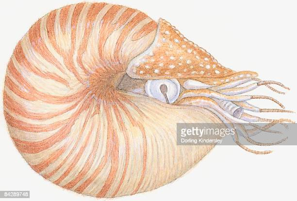 Illustration of Chambered Nautilus (Nautilus pompilius), mollusc with striped brown shell, primitive eye, siphon and wispy tentacles