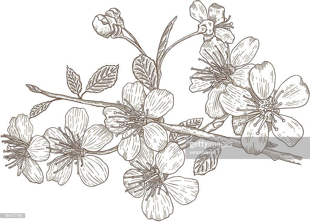 Illustration of Cherry blossoms