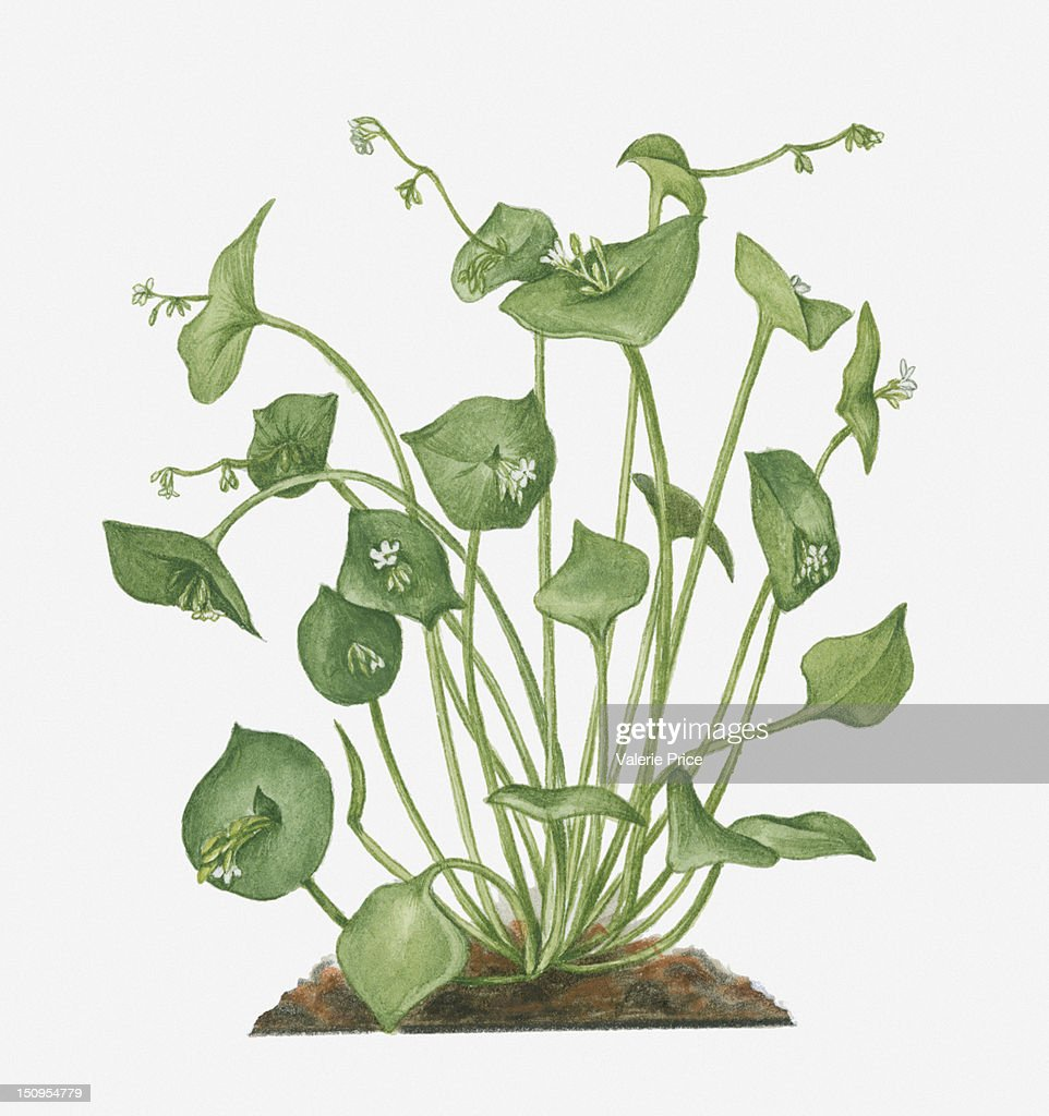 Illustration Of Claytonia Perfoliata Bearing Small White Flowers And