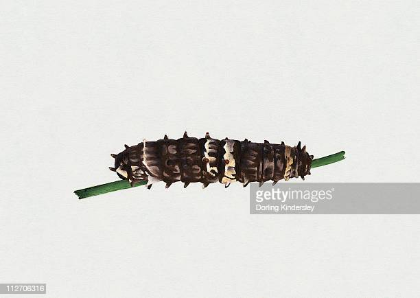Illustration of Clearwing Swallowtail or Big Greasy (Cressida cressida) caterpillar on green stem