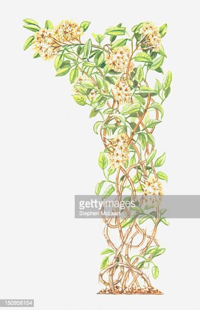 ilustraciones, imágenes clip art, dibujos animados e iconos de stock de illustration of clematis vitalba (traveller's joy) - ranunculus