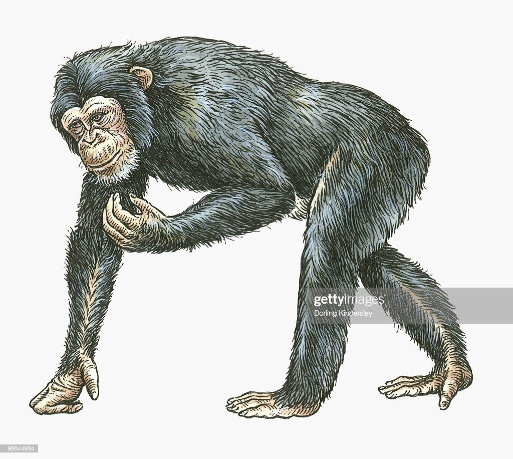 Illustration of Common Chimpanzee (Pan troglodytes) : stock illustration