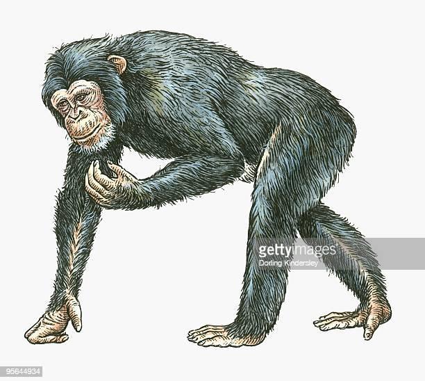 illustration of common chimpanzee (pan troglodytes) - chimpanzee stock illustrations, clip art, cartoons, & icons
