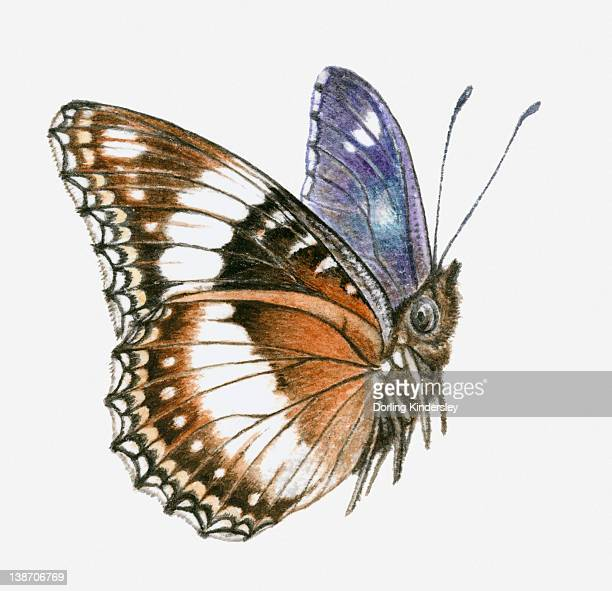 Illustration of Common eggfly (Hypolimnas bolina) butterfly with brown, white and blue colouring
