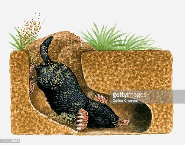 illustration of common mole (scalopus aquaticus) burrowing underground - 掘る点のイラスト素材/クリップアート素材/マンガ素材/アイコン素材