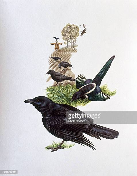 illustration of common raven, european magpie, common crow, and common grackle in countryside, with scarecrow and rookery in distance - magpie stock illustrations