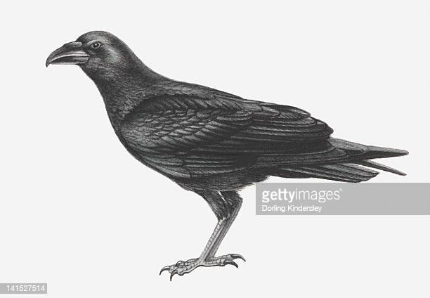 Illustration of Common Raven (Corvus corax)