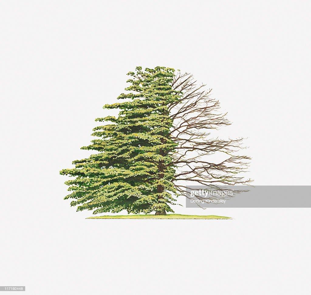 Illustration Of Cornus Controversa Variegata Wedding Cake Tree ...