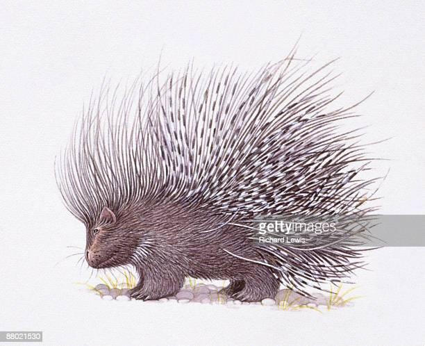 illustration of crested porcupine (hystrix cristata) with raised quills  - ヤマアラシ点のイラスト素材/クリップアート素材/マンガ素材/アイコン素材