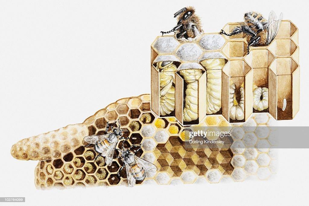 Bienenstock Querschnitt
