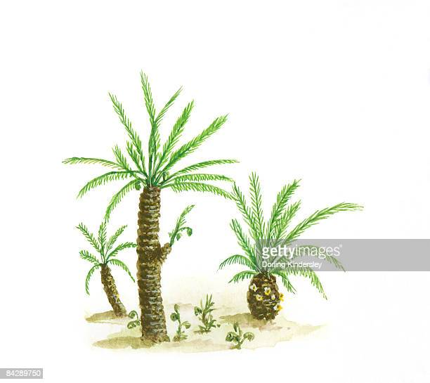 Illustration of cycads with compound green leaves and thick trunks dating from Paleozoic era