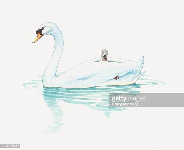 Illustration of cygnet riding on back of adult swan