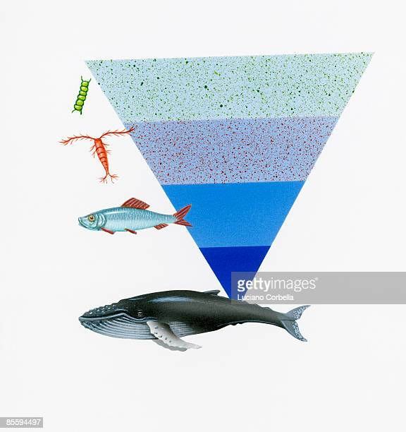 illustration of depth of water where humpback whale, herring, copepod, and plankton are found in sea life food chain - humpback whale stock illustrations, clip art, cartoons, & icons