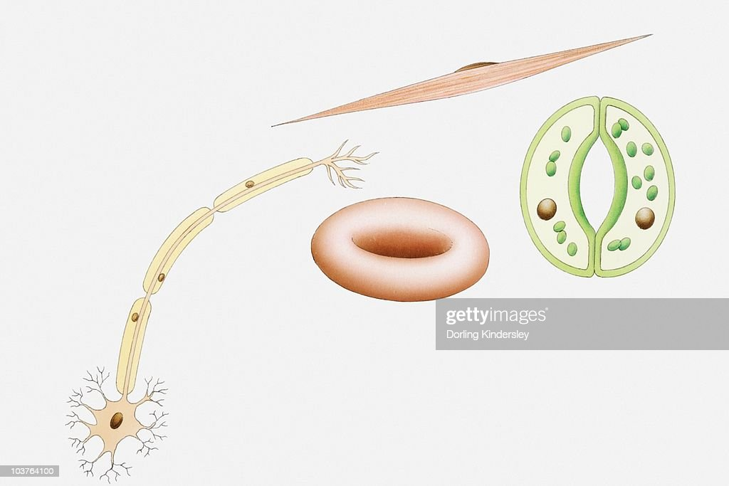 Illustration Of Different Types Of Cells Nerve Cells Red Blood Cell
