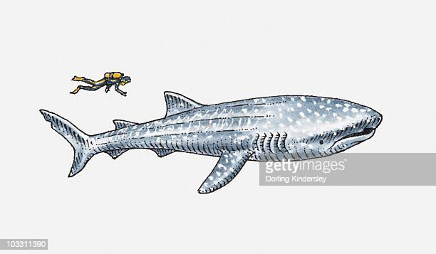 illustration of diver near whale shark - ジンベエザメ点のイラスト素材/クリップアート素材/マンガ素材/アイコン素材