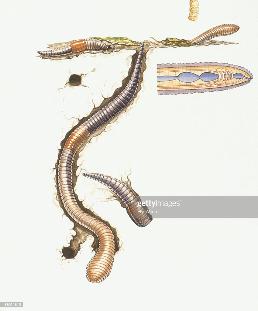 Illustration Of Earthworm Stock Illustration Getty Images