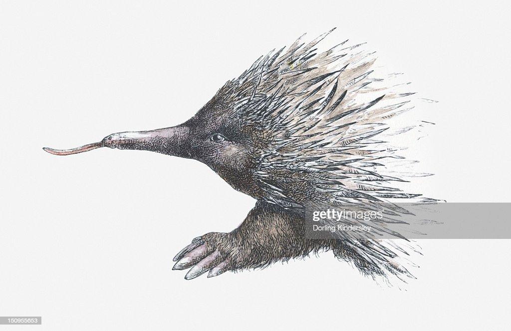 Illustration of Echidna (or Spiny Anteater) : Illustrationer