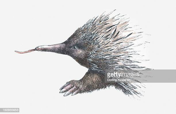 illustration of echidna (or spiny anteater) - echidna stock illustrations
