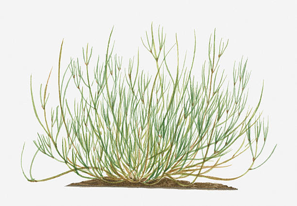 Illustration Of Ephedra Sinica (Joint-pine) With Long Wispy Green Stems Wall Art